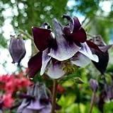 Semillas de Columbine William Guinness de flores (Aquilegia vulgaris) 200 + Semillas