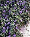 Ponak nuevas 100 PC bígaro SEMILLAS vinca Flores de jardinería hermosa violeta 2
