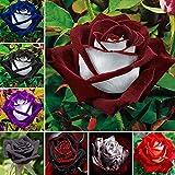 Vistaric 100 unids/bolsa semillas color de rosa, flor rosa negra con borde blanco,...